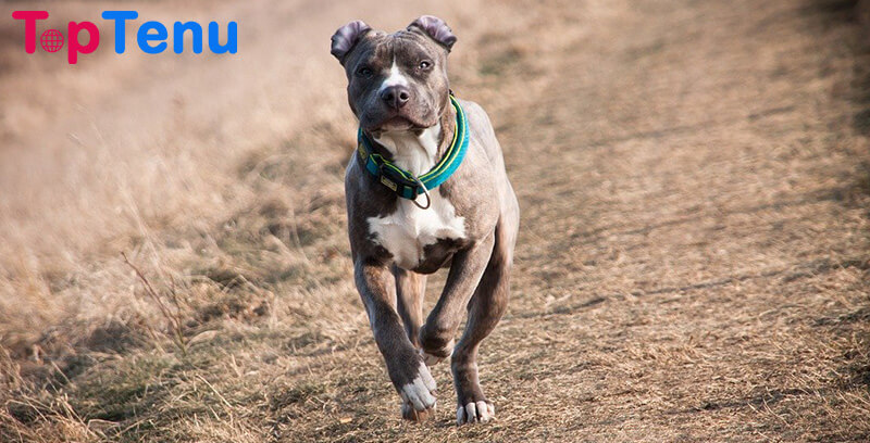 American Pitbull Terrier Police Dog Breeds