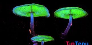 Bioluminescence funji