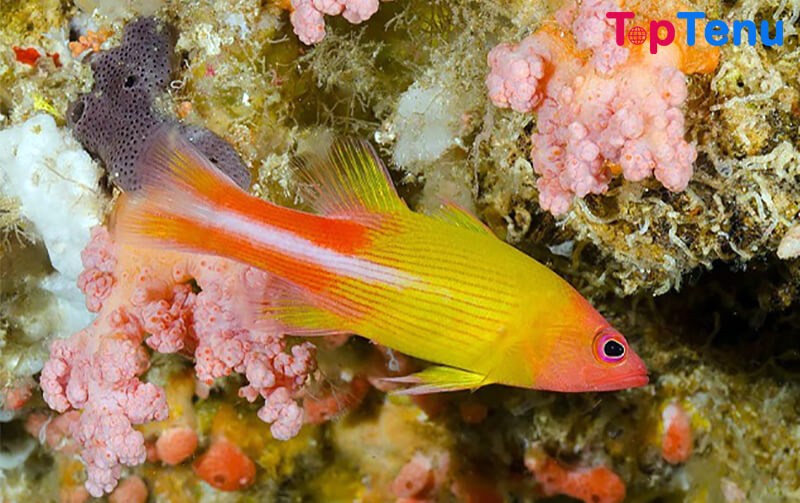 Golden Basslet
