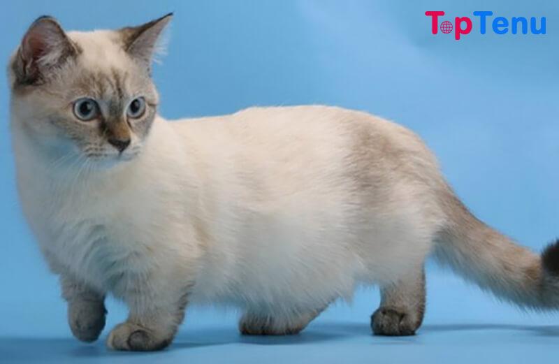 Munchkin Weird Cat Breeds