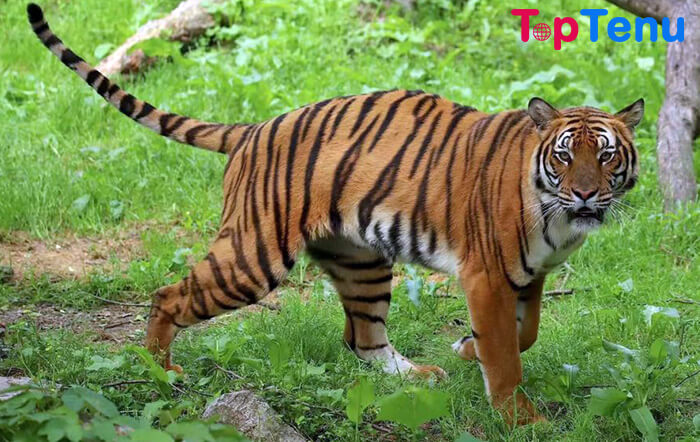 South China Tiger Animals that are on the Verge of Extinction