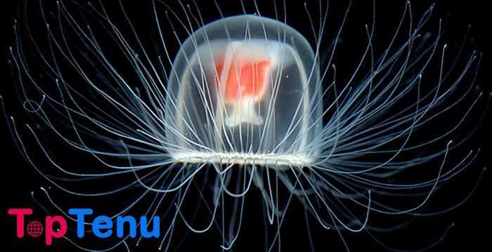 Transparent Immortal Jellyfish