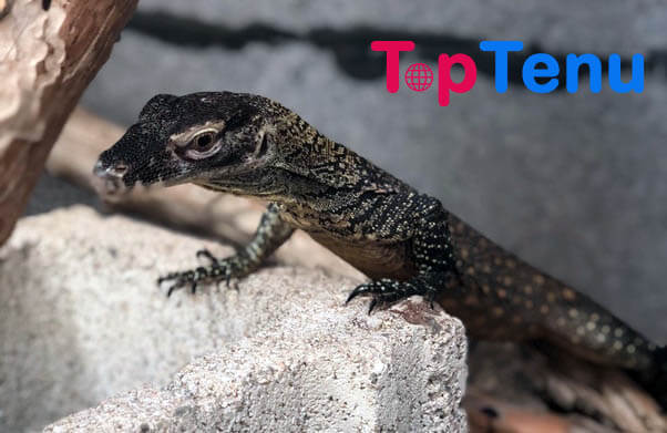 Baby Komodo Dragons Weird Animal Defense Mechanisms
