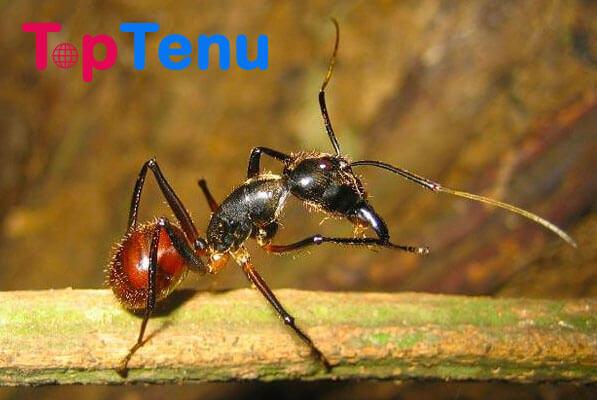 Malaysian Exploding Ant