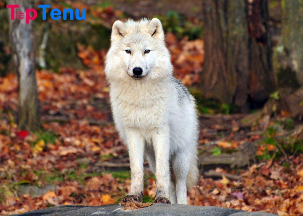 Wolfdog Hybrid Animals