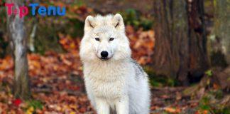 Wolfdog