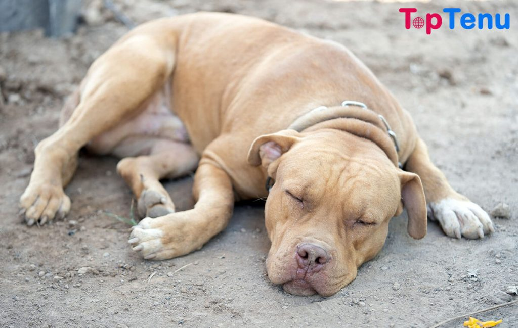 American Pit Bull Terrier Top 10 Most Strong and Aggressive Dog Breeds