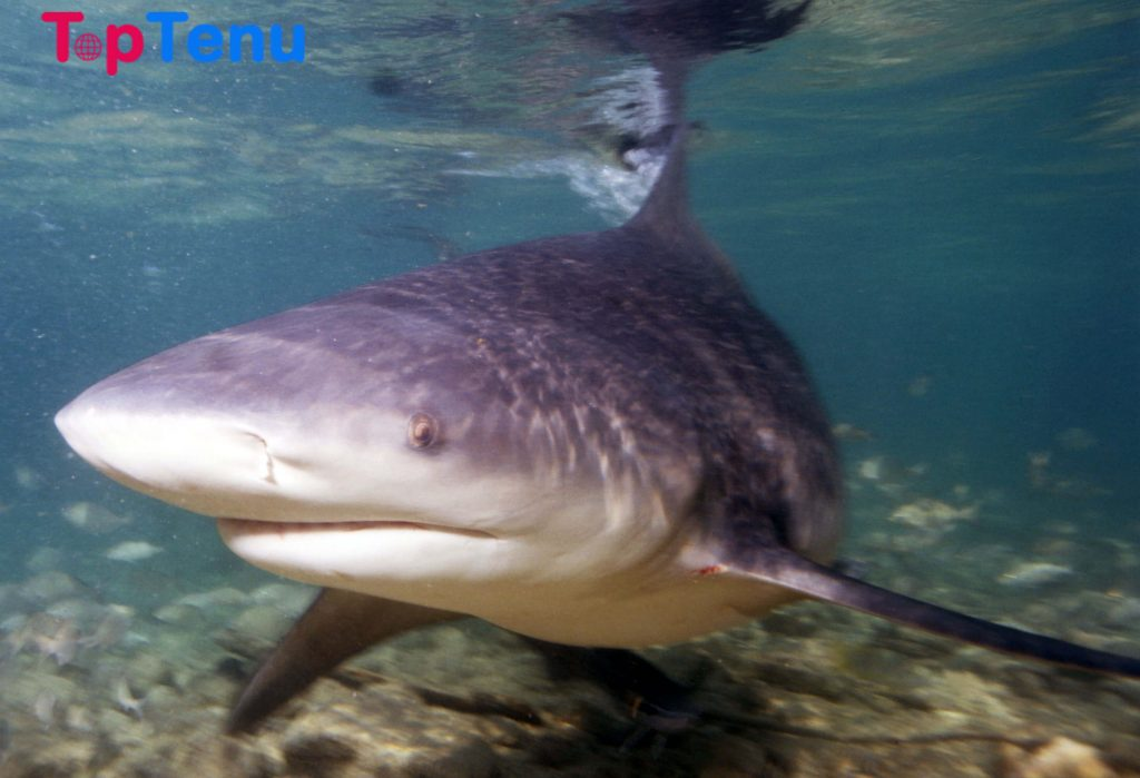 Bull Shark Top 5 Deadliest Sharks in the World