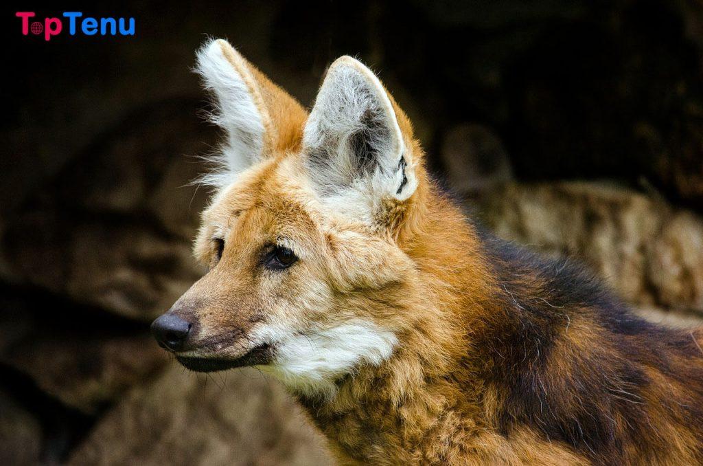 Maned Wolf Top 10 Strange Animals in the World