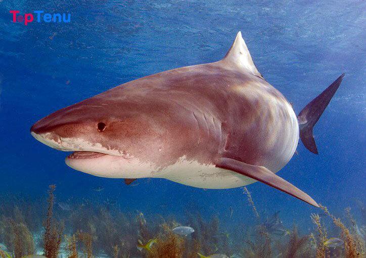Tiger Shark Jaws